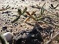 Starr 080207-2411 Dactyloctenium aegyptium.jpg