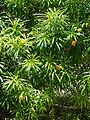 Starr 080609-7918 Thevetia peruviana.jpg