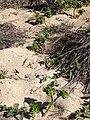 Starr 090121-0913 Portulaca molokiniensis.jpg