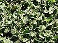 Starr 090121-0950 Solanum nelsonii.jpg