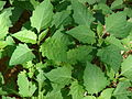 Starr 090121-0990 Solanum americanum.jpg