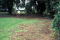 Starr 970503-0319 Schinus terebinthifolius.jpg