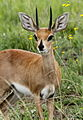 Steenbok, Raphicerus campestris at Pilanesberg National Park, South Africa (17144191610).jpg