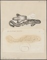 Stegostoma tigrinum - 1700-1880 - Print - Iconographia Zoologica - Special Collections University of Amsterdam - UBA01 IZ14100123.tif