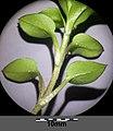 Stellaria ruderalis sl20.jpg