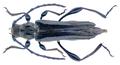 Stenopterus ater (Linnaeus, 1767).png