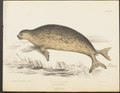 Stenorhynchus weddelli - 1700-1880 - Print - Iconographia Zoologica - Special Collections University of Amsterdam - UBA01 IZ21100165.tif