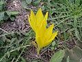 Sternbergia lehavim.jpg