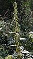 Stinging Nettle (Urtica dioica) - Oslo, Norway.jpg