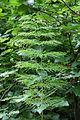 Stockshof Equisetum sylvaticum 01.JPG