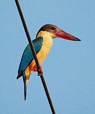 Stork-billed Kingfisher (1).jpg