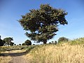 Strange tree in Mora Mountain.jpg