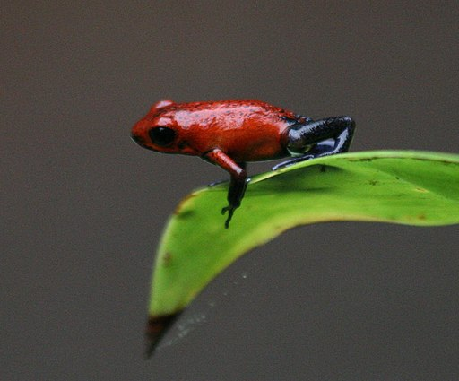 Strawberry poison-dart frog from costa Rica
