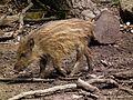 Struppiger Wildschweinfrischling Wildpark Alte Fasanerie Juni 2012.JPG