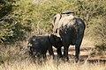 Suckling elephant calf, North West Province (6253212002).jpg