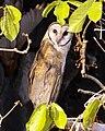 Sulawesi owl Q0S0008.jpg