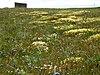 Summer flowers at Cape Krusenstern National Monument.jpg