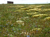 Summer flowers at Cape Krusenstern National Monument.jpg