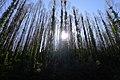 Sun Through Trees - Camacha - Apr 2013.jpg