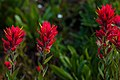 Sun peaks alpine flowers in full bloom.Indian Paintbrush (Castilleja miniata). (19436094899).jpg