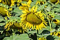 Sunflowers cultivated in Southern France 05.jpg