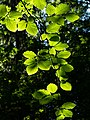 Sunlight on beech leaves in Gullmarsskogen ravine 6.jpg