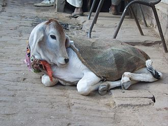 Carnism - A cow rests in the street in Vrindavan.  In some Eastern cultures, cows are revered, whereas in some Western cultures they are eaten as beef.