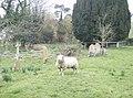 Surprised sheep - geograph.org.uk - 380283.jpg