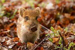 English: A baby Wild Boar (Sus scrofa) in a wi...