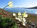 Svalbard poppy (Papaver dahlianum).jpg