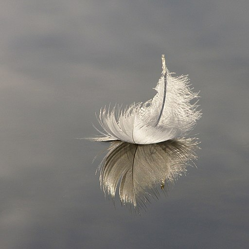Swan feather on Hatchet Pond - geograph.org.uk - 982792