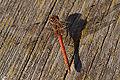 Sympetrum striolatum male.jpg