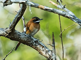 Synallaxis candei - White-whiskered Spinetail.jpg