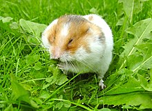 Syrian hamster filling his cheek pouches with Dandelion leaves cropped.jpg