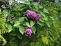 Syringa (Poltava Botanical garden).jpg