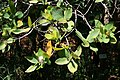 Syzygium cordatum 3.jpg