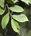 Szechuanica leaves