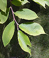 Szechuanica leaves.jpg