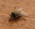 Tabanidae (35901226055).jpg