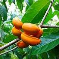 Tabernaemontana alternifolia, kuruttu pala 2.jpg