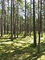 Tallskog Gotska Sandön.jpg