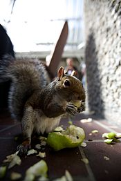 Tame squirrel at the Barbican during Wikimania 2014 - 14876104951.jpg