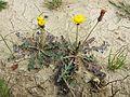 Taraxacum serotinum sl11.jpg