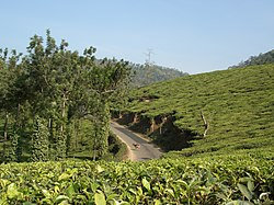 Tea plantation with road and trees.jpg
