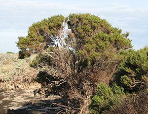 Tecticornia - Tecticornia arbuscula