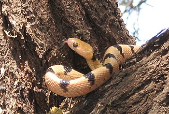The East African Tiger Snake