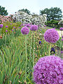 Terra Botanica - Allium giganteum Reg 03.jpg