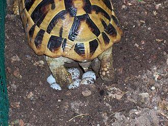 Hermann's tortoise - A female of T. h. boettgeri subspecies laying eggs in soil pit