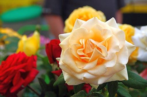 un rosier hybride