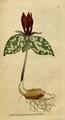 The Botanical Magazine, Plate 40 (Volume 2, 1788).png